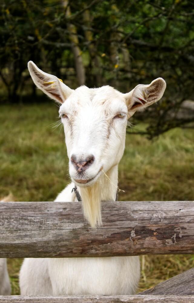 Neem een geit!